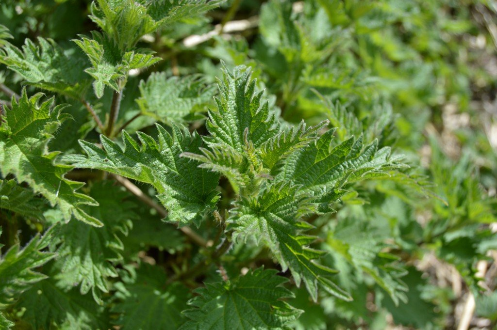 Head of young fresh nettles