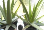 aloe vera for indoor good air quality