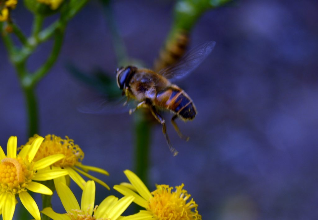 a bee flying over ragwort
