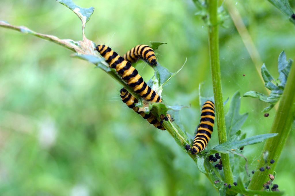 caterpillars enjoying ragwort