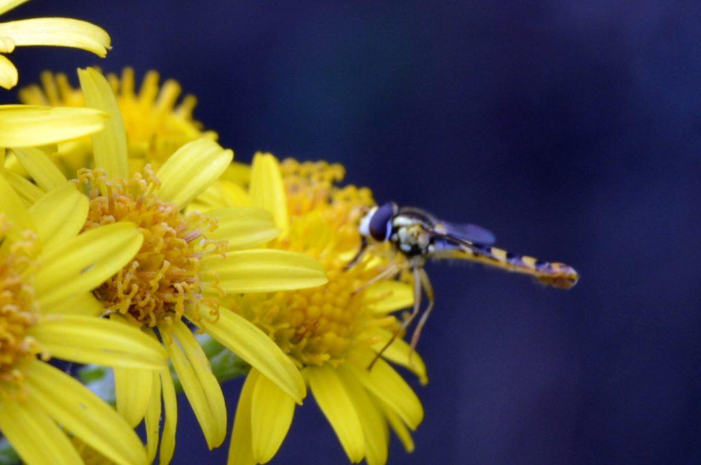sucking the nectar from ragwort