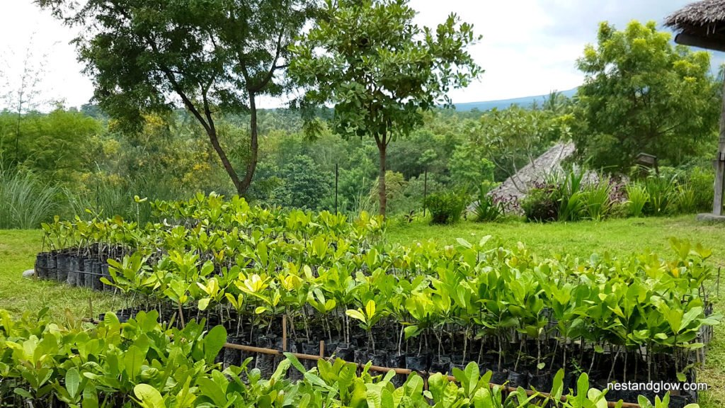Young cashew tree plants