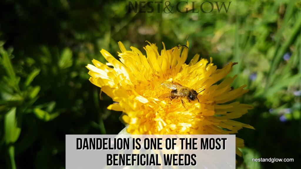 A wasp on dandelion flower