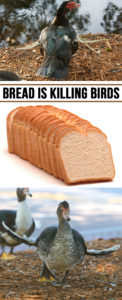 Feeding Bread is Killing Birds