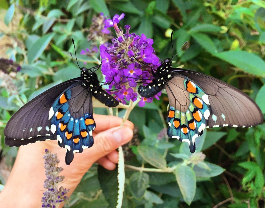 California pipevine swallowtail san francisco