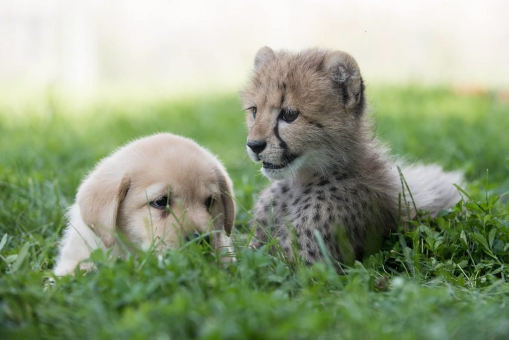 Emotional Support Dogs helping cheetah breed