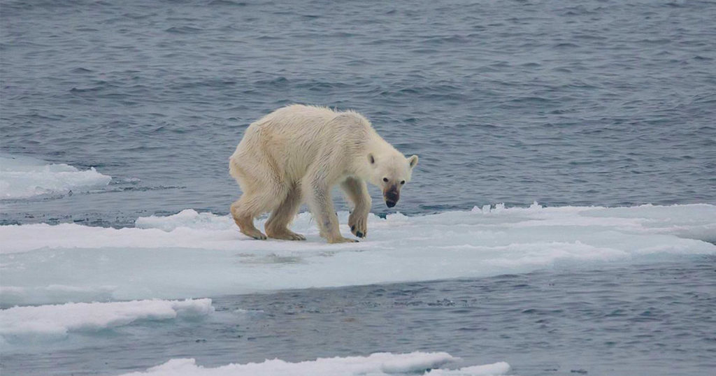 starving polar bear