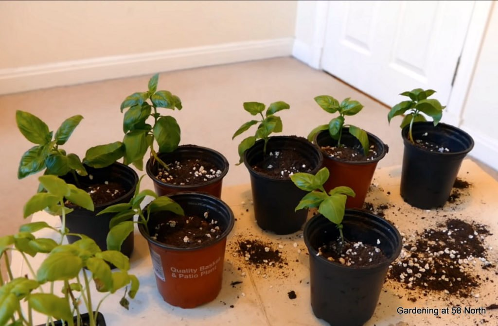potted basil cuttings