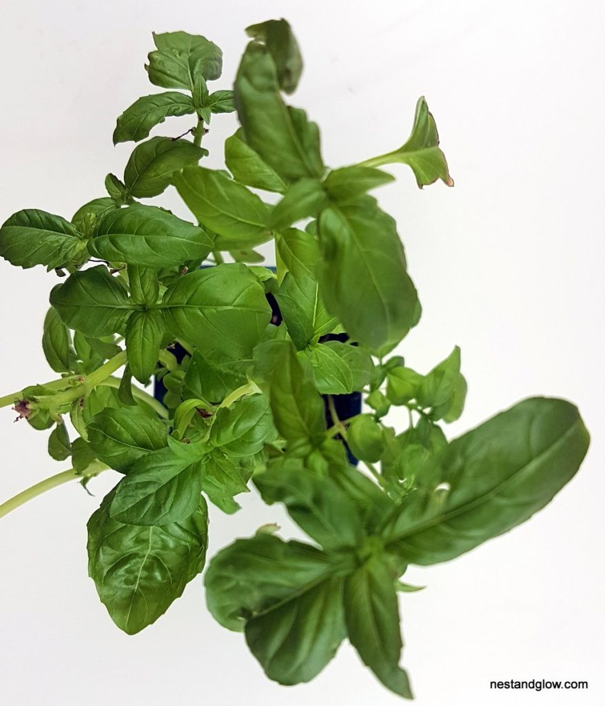 unlimited basil