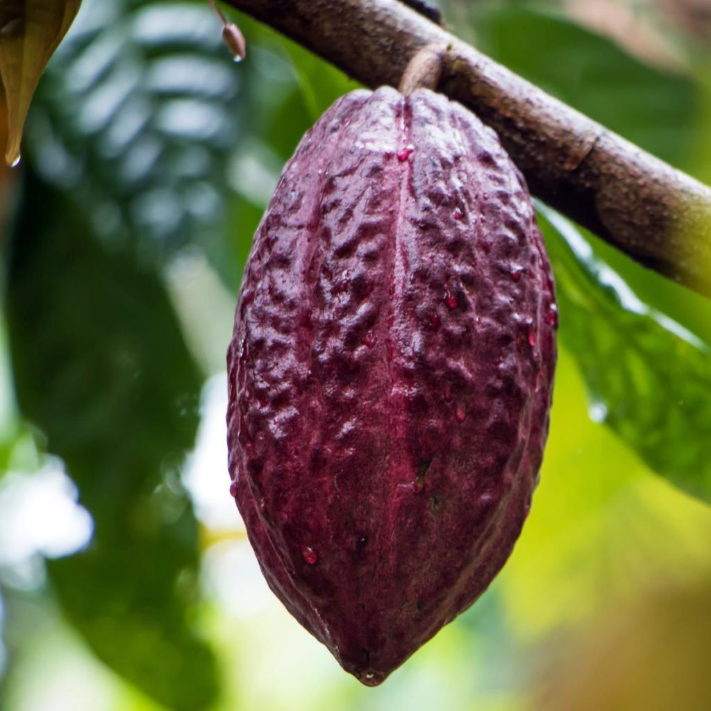 fresh cocoa pod
